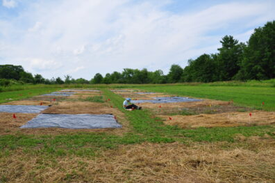 Research plots covered with plastic.