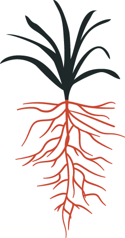 Illustration of turfgrass leaves and root system.