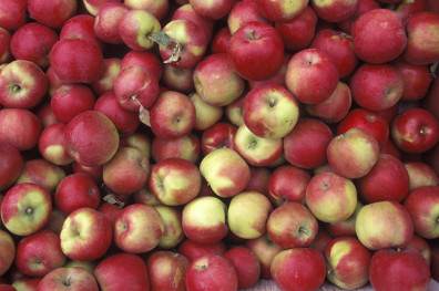 Fresh_Picked_Apples_from_WSU_Experimental_Orchard (2)