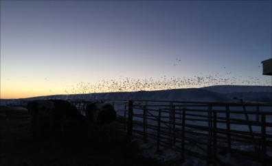 A flock of birds is silhouetted above a dairy lot at sunset.