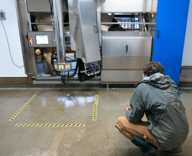 A man crouches in front of a robotic milking machine. Yellow striped warning tape on floor delineates danger area from machine motion.