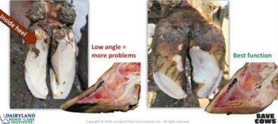 Cow hoof displaying over-trimming on the heel (left) vs a well trimmed hoof (right).