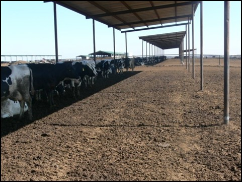 Cows line up under shade structures.
