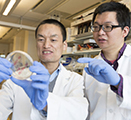 Zhaokang Cheng and postdoctoral research associate Peng Xia look at bacterial cultures in their Spokane laboratory.