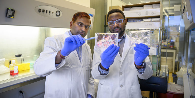 Study authors Shobhan Gaddameedhi and Panshak Dakup look at cell cultures used in experiments that examine the biological clock's role in protecting from cell damage caused by radiation treatment.