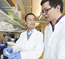 Study authors Zhaokang Cheng and Peng Xia are shown in Cheng's lab on the WSU Health Sciences Spokane campus.