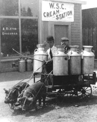 Milk cart from the Washington State College Cream Station being pulled by pigs.
