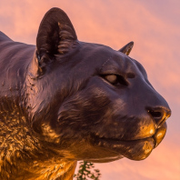 Head of the Cougar Pride bronze statue, located on stadium way, that is being used to represent one of our staff members.