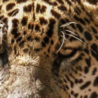 Upclose shot of a jaguar