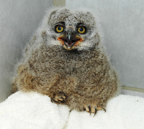 Baby Great Horned Owl Placed Back In Nest Wsu News