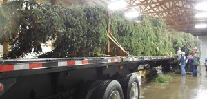 Tree-long-on-bed-of-truck-550
