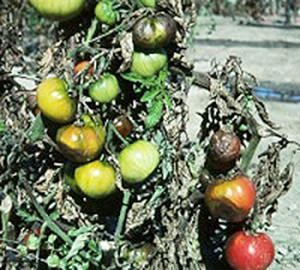 tomato-blight-350