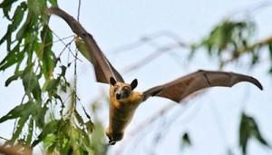 Fruit-bat-400