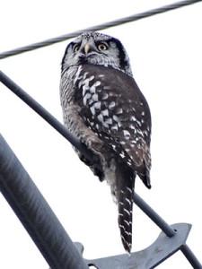 Dec14-owl-300