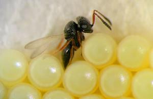 bug-wasp-350