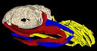 3-D-shark-skull-2-180