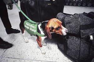 dog-beagle-350