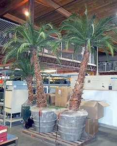 Palm-trees-at-Surplus-Stores-300