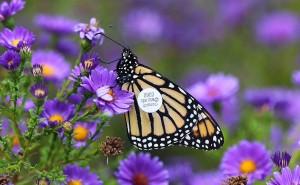 Tagged Monarch 004 copy