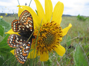 Taylors_checkerspot_butterfly-400