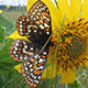 Taylors_checkerspot_butterfly-80