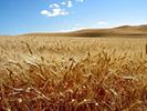 barley_field-130