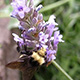 bee-on-lavender-80