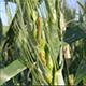 wheat-academy-80