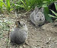 pygmy-rabbits-200