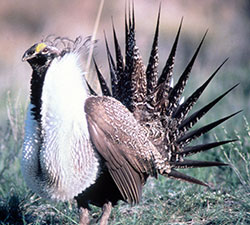 sage-grouse-nps-250