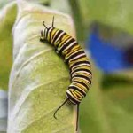 Caterpillar milkweed