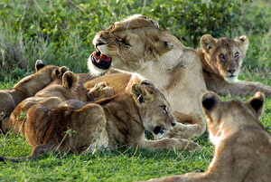 Lions-in-Serengeti-450