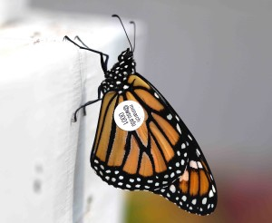 "WSU's David James uses tags to track monarch migration through the Pacific Northwest. ""We have them here, but we used to have a lot more,"" he says. (Photo by David James)"