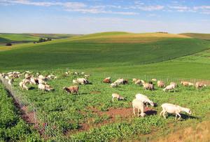 Palouse-sheep-500
