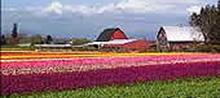 Skagit-Valley-tulips