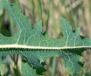 Prickly-lettuce-leaf-closeup-Kennedy-web