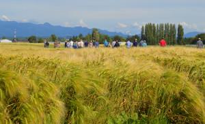 Alba-barley-web
