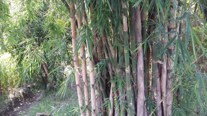 Bamboo-Wikimedia-by-Rana-Anees