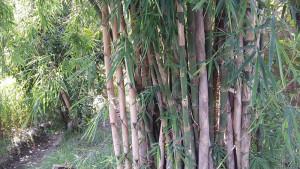 Bamboo-Wikimedia-by-Rana-Anees