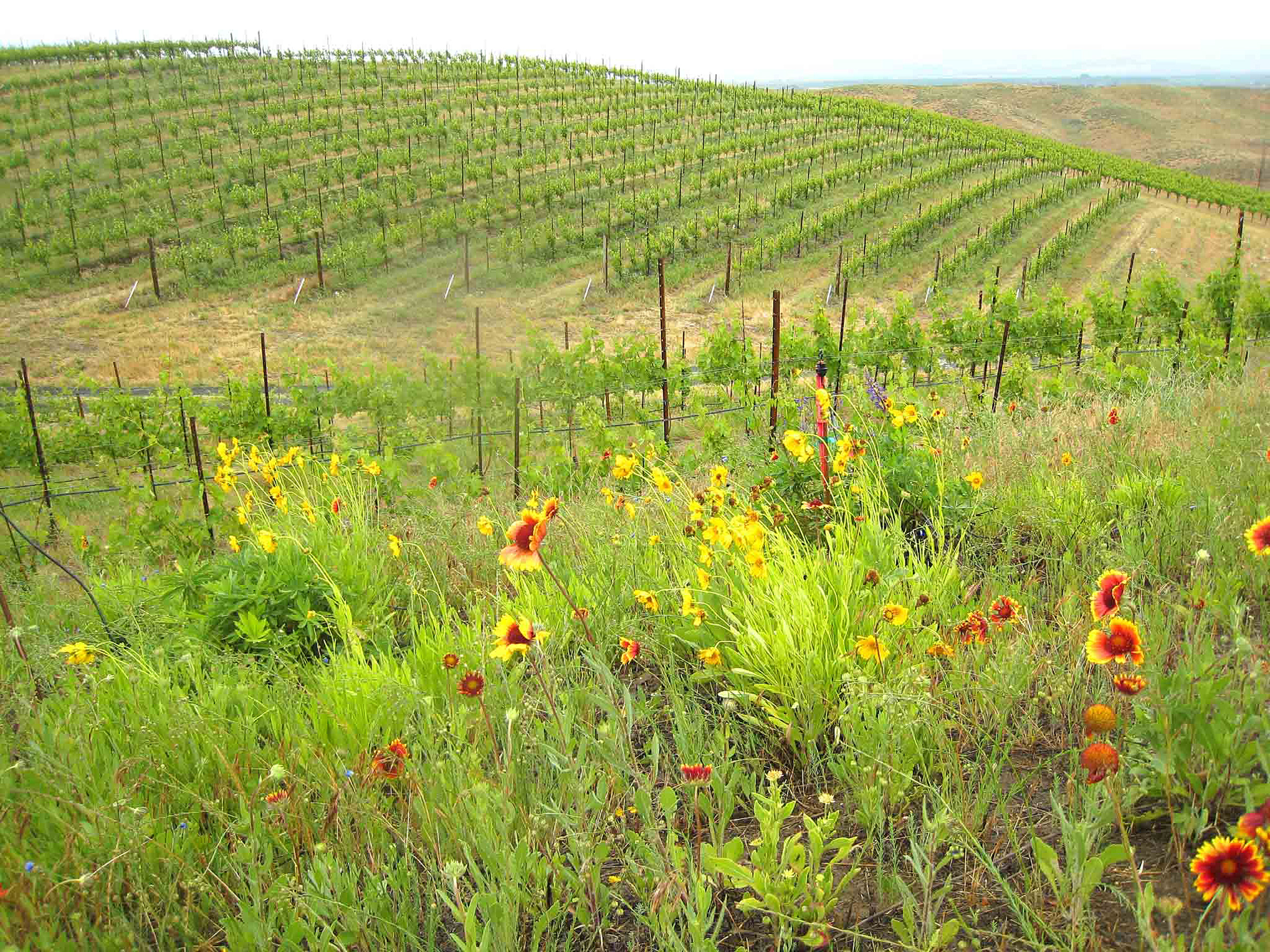 vineyard natural habitats assist with butterfly comeback wsu
