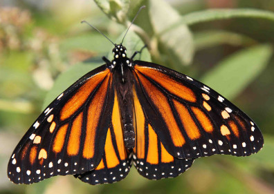 Closeup of a western monarch butterfly.