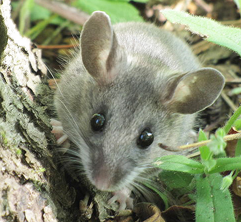 how to catch a deer mouse