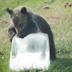 Young bear cools itself with a giant block of ice.