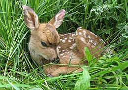 Fawn-courtesy-of-WSU-CAHNRS