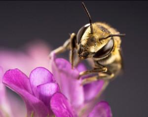 alfalfa-leafcutter-bee