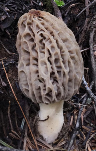 morel-closeup