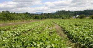 organic-farm-bean-field