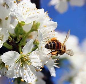 Bee-apple-tree-web