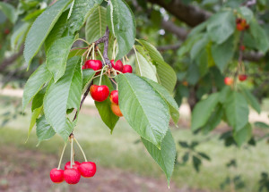 ranier-cherries-at-Tukey-web