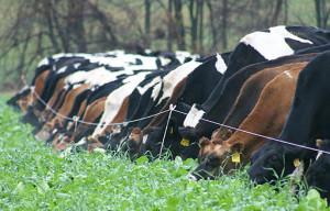 farm-course-cows